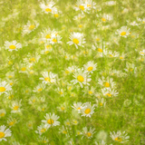Daisy Meadow Reproduction photographique par Doug Chinnery