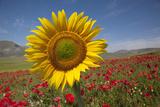 Sunflower and Red Poppies Fotografisk trykk av Buena Vista Images
