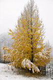 Usa, Colorado, Yellow Tree Covered by Snow Photographic Print by John Kelly