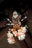 Harlequin Shrimp Sitting Atop a Starfish, Bali Lámina fotográfica