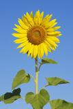 Sunflower (Helianthus Annuus) against Blue Sky. Fotoprint av Martin Ruegner