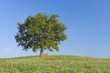 Holm Oak (Quercus Ilex in Clover Field. Photographic Print by Martin Ruegner