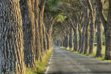 Avenue Lined with Pine Trees. Photographic Print by Martin Ruegner