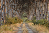 Avenue (Track) Lined with Pine Trees, Sunrise. Photographic Print by Martin Ruegner