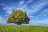 Holm Oak (Quercus Ilex) Alone in Meadow. Photographic Print by Martin Ruegner
