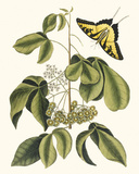 Papilio Antilochus Giclée-tryk af Marc Catesby