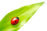 Ladybug on a Leaf over White Photographic Print by  haveseen