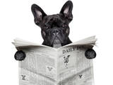 Newspaper Bulldog Photographic Print by Javier Brosch