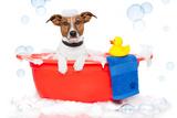 Dog Taking A Bath in A Colorful Bathtub with A Plastic Duck Valokuvavedos tekijänä Javier Brosch
