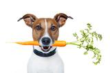 Healthy Dog with A Carrot Valokuvavedos tekijänä Javier Brosch