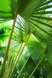 Jamaica, Palm Leaves Stampa fotografica di Tetra Images