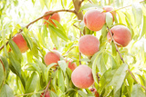 Peaches Growing in Tree Photographic Print by Jacqueline Veissid