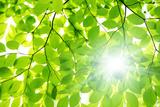 Sunlight through Beech Tree Leaves Fotoprint van  imagewerks