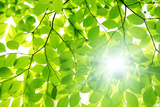 Sunlight through Beech Tree Leaves Impressão fotográfica por  imagewerks