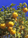 Orange Tree Photographic Print by Hans Peter Merten