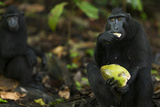 Black Crested Macaque Female Feeding on a Coconut Fotografisk tryk af Anup Shah