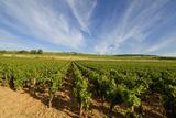 Vine in Burgundy. France Fotografisk trykk av Bernard Jaubert
