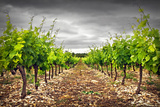 Row of Vineyard Fotografie-Druck von Ellen Van Bodegom