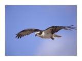 Osprey flying, North America Art par Tim Fitzharris