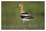 American Avocet in breeding plumage wading though shallow water, North America Affiches par Tim Fitzharris