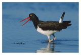 American Oystercatcher wading, North America Posters par Tim Fitzharris