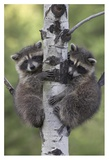 Raccoon two babies climbing tree, North America Posters af Tim Fitzharris