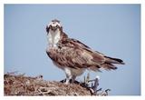 Osprey adult perching on nest, Baja California, Mexico Affiches par Tim Fitzharris