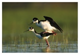 Black-necked Stilt couple mating, North America Posters par Tim Fitzharris
