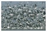 American Avocet flock erupting into flight, North America Posters par Tim Fitzharris