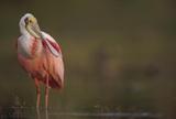 Roseate Spoonbill adult in breeding plumage, North America Impression sur toile par Tim Fitzharris