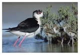 Black-winged Stilt mother with three chicks, Camargue, France Posters par Tim Fitzharris