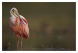 Roseate Spoonbill adult in breeding plumage, North America Posters par Tim Fitzharris