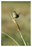 Marsh Wren singing while perching on a Common Cattail, Alberta, Canada Affiches par Tim Fitzharris