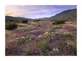 Sand Verbena and Primrose blooming, Anza-Borrego Desert State Park, California Art by Tim Fitzharris