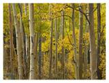 Aspen trees in autumn, Santa Fe National Forest near Santa Fe, New Mexico Posters by Tim Fitzharris