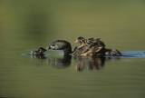 Pied-billed Grebe parent with two chicks on its back and one learning to swim, New Mexico Impression sur toile par Tim Fitzharris