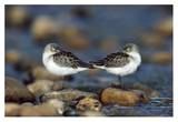 Western Sandpipers pair standing back to back with beaks tucked under wings, North America Láminas por Tim Fitzharris
