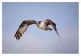 Osprey adult flying, Baja California, Mexico Affiches par Tim Fitzharris