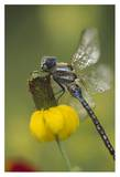 Southern Hawker Dragonfly on Prairie Coneflower , New Mexico Poster by Tim Fitzharris