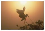 Wood Stork collecting nesting material, Everglades National Park, Florida Poster par Tim Fitzharris
