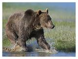Grizzly Bear running through water, North America Posters by Tim Fitzharris