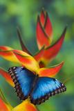 Blue Morpho on a Heliconia Flower Lámina fotográfica por Gulin, Darrell