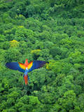 Scarlet Macaw Flying over Rainforest Reproduction photographique par Jim Zuckerman