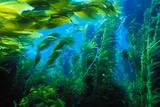 Giant Kelp Fotografie-Druck von Ralph A. Clevenger