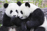 Two Panda Babies Interacting Photographic Print by Frank Lukasseck