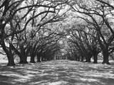 Arched Path of Trees on Plantation Site Photographic Print by Philip Gendreau
