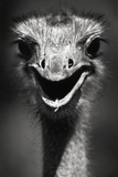 Ostrich Head Fotografisk trykk