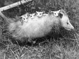Female Opossum with Young Fotografie-Druck