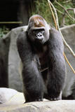 Gorilla Prancing on Rock Display Fotografisk trykk av Ray Foli