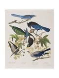 Illustration from 'Birds of America', 1827-38 Giclée-tryk af John James Audubon